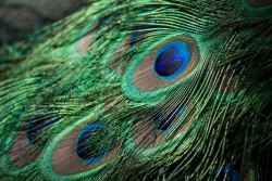 Peacock Feather - Standard