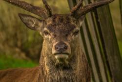 deer-952744