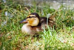 duck-1569415