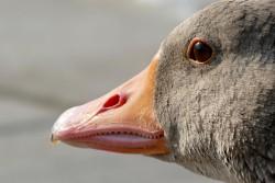 goose-1556424