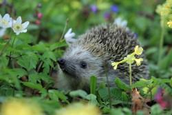 hedgehog-548335