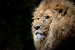 lion-1118467