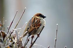 sparrow-50346